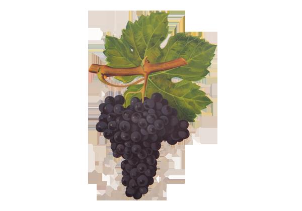 grappe-raisins-vin-rose-cabernet-franc
